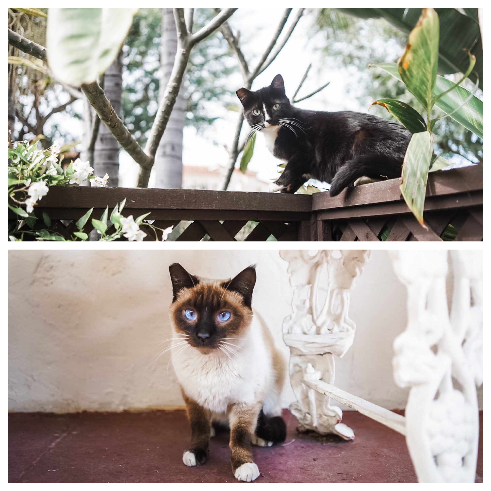 Two cats pictured. Black and white cat. Brown and white cat with blue eyes.