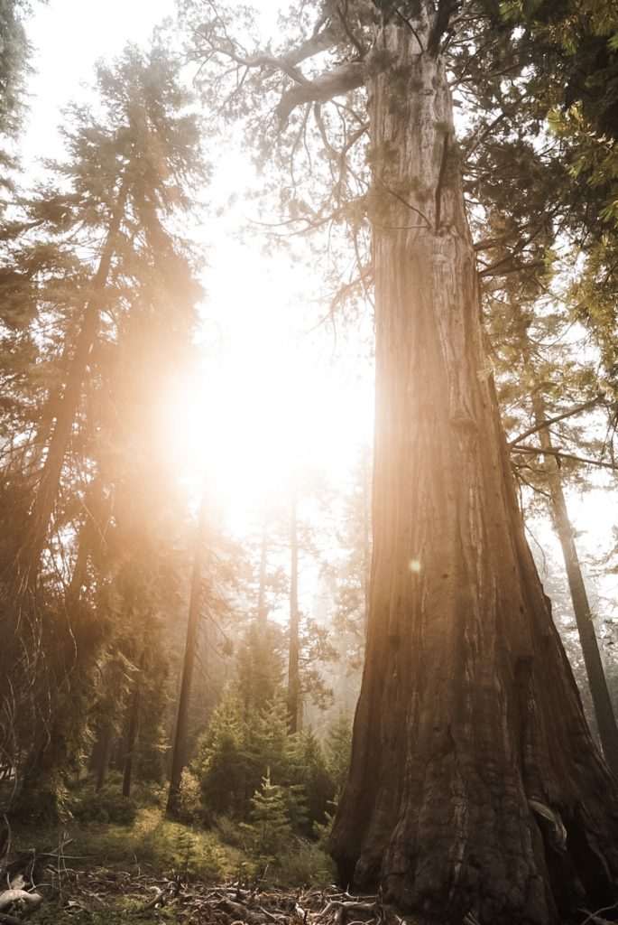 sequoia trees with sun streaming through