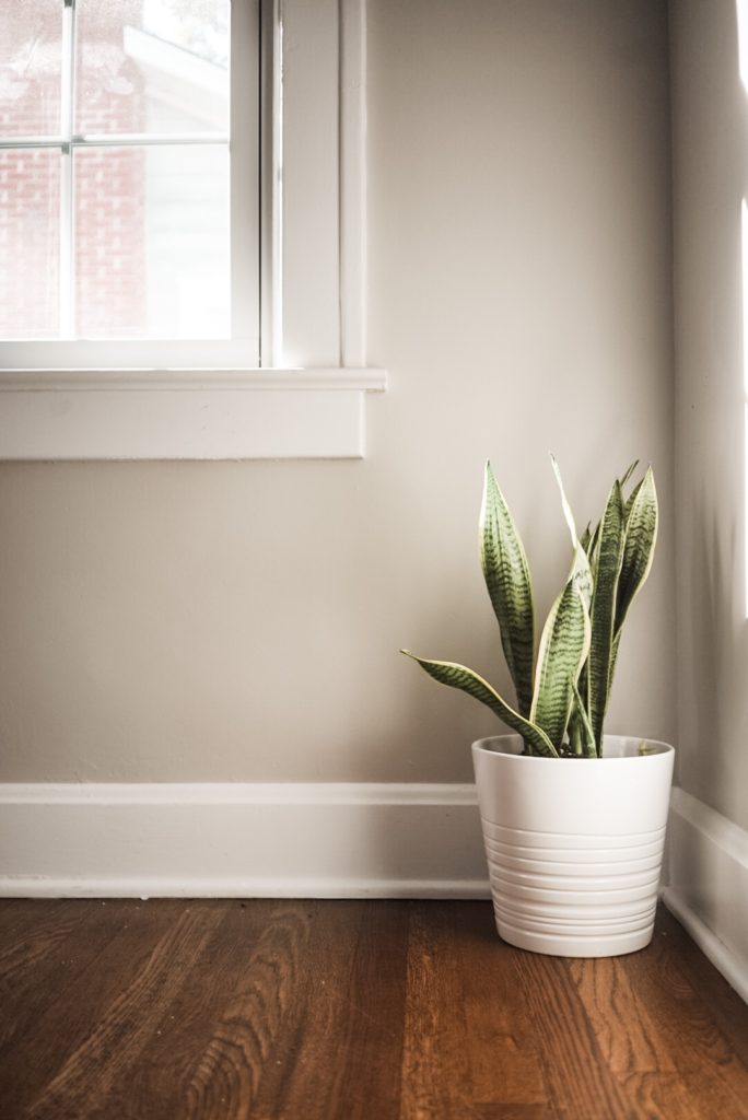 Plant in white pot sitting on hardwood floor. Window to the left of plant.