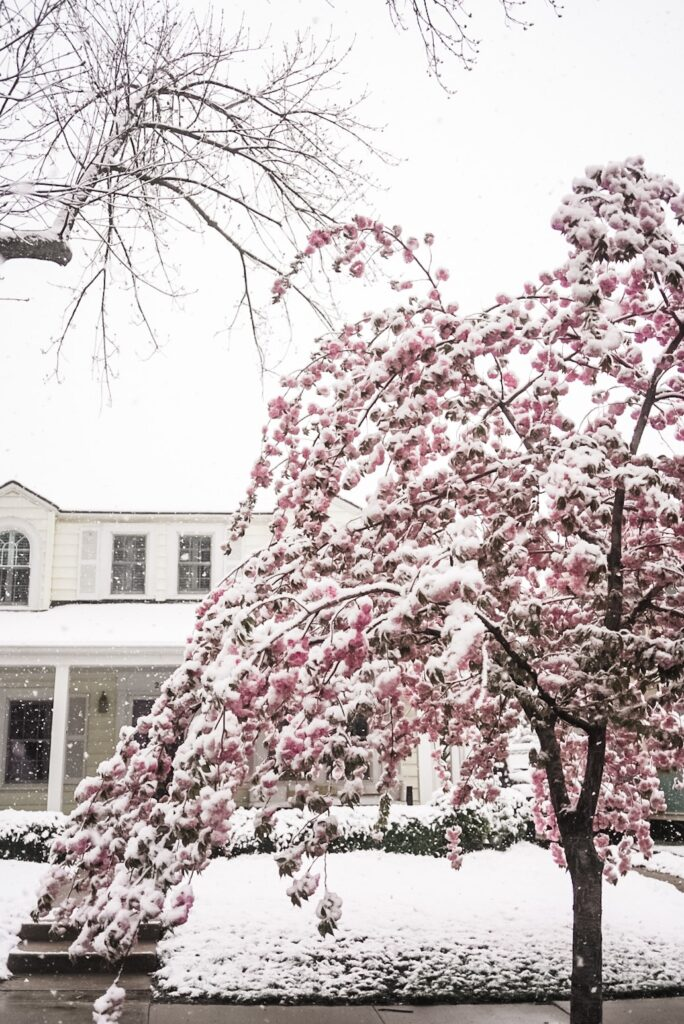 Yellow house with tree with pink blossoms covered in snow