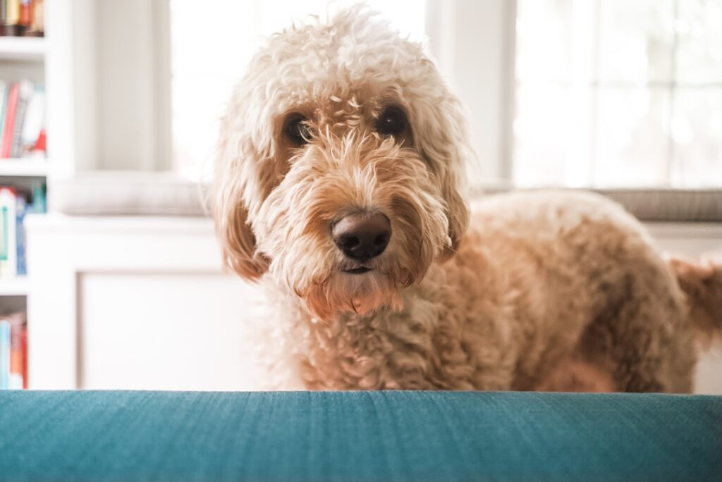 Golden doodle dog with white fur looking at camera